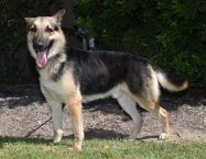 tommy-adopt german shepherd