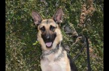 baby-adopt german shepherd