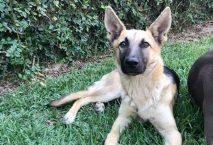 charlotte - adopt german shepherd