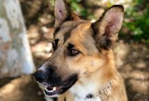 honey-adopt german shepherd