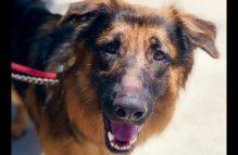 maxwell - adopt a german shepherd