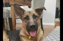 robby-adopt german shepherd