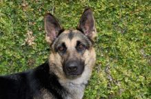 lizzy-adopt german shepherd