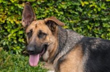 rally-adopt german shepherd