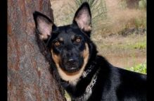 veronica-adopt german shepherd