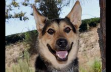 archie-adopt german shepherd