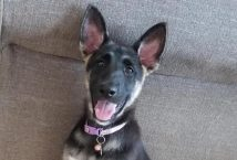 capri-adopt german shepherd
