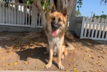 vincent-adopt german shepherd