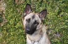 wynona_adopt german shepherd