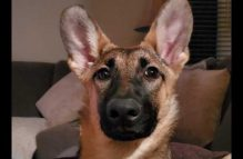 willow-adopt german shepherd