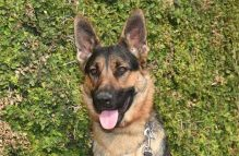 rex-adopt german shepherd