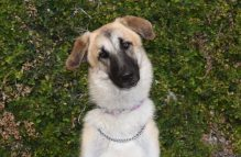 sheba-adopt german shepherd