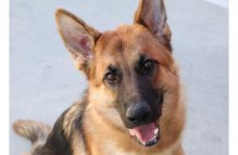 kyle-adopt german shepherd
