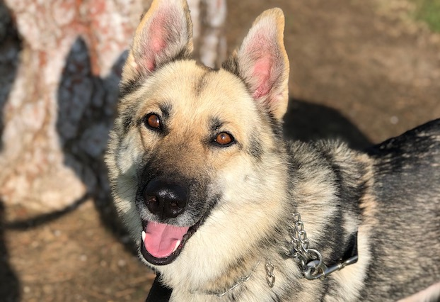 rayne - adopt german shepherd