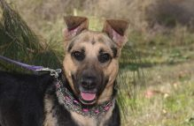 candy-adopt german shepherd
