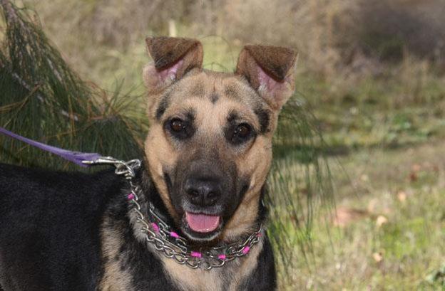 candy-adopt german shepherd