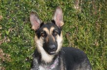 cleo-adopt german shepherd