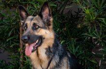 kasha-adopt german shepherd