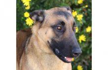 monty-adopt german shepherd