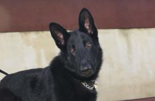 tundra-adopt german shepherd