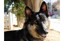 charliegirl_adopt german shepherd