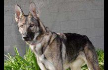 sable-adopt german shepherd
