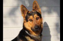 kaiser-adopt german shepherd