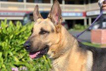 blue-adopt german shepherd