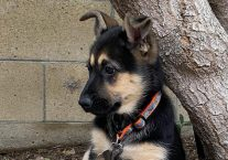 dancer-adopt german shepherd