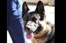 layla-adopt german shepherd