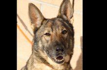 missy-adopt german shepherd