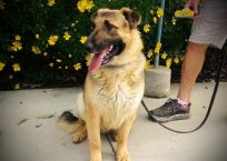 erik-adopt german shepherd