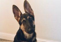 hanns-adopt german shepherd