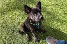 phoebe-adopt german shepherd