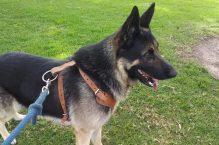 tito-adopt german shepherd