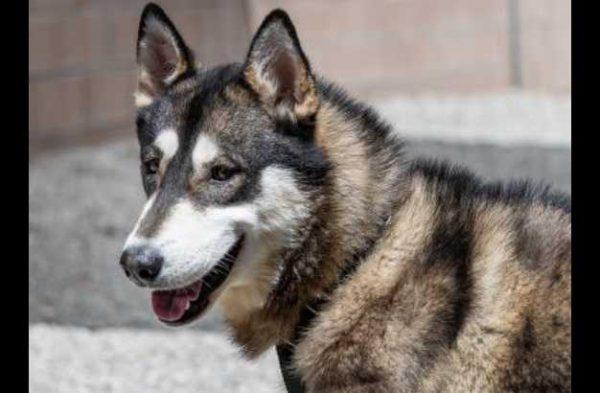 Husky Puppies Craigslist Inland Empire
