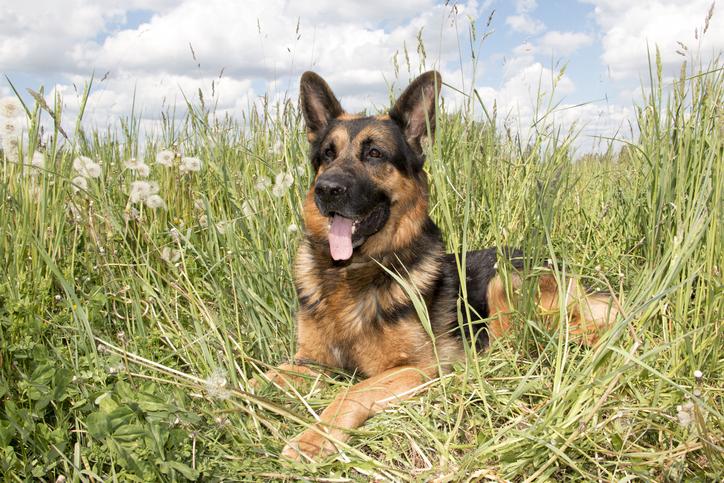 German Shepherd Rescue Of Orange County Adopt A German Shepherd