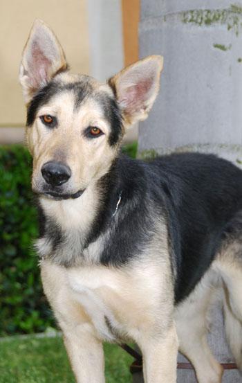 Bowie - German Shepherd Rescue of Orange County