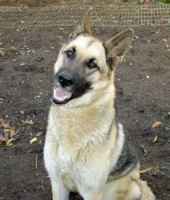 Dora German Shepherd Rescue Of Orange County - Dora german shepherd