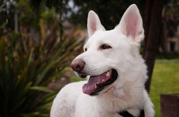 Loki - German Shepherd Rescue of Orange County